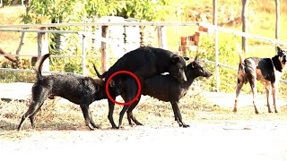 Fantastic!! Rural Dogs and Street Dogs Meeting and Try to Sweet in the Morning01