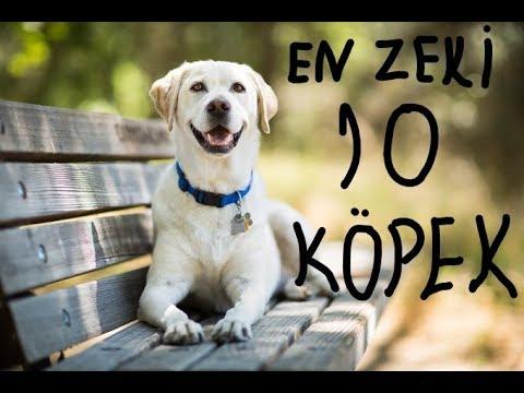 Dünyanın En Zeki 10 Köpek cinsi - osman çakır