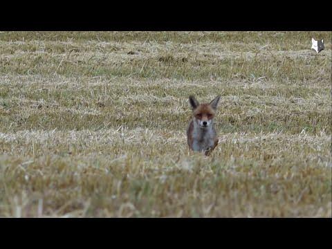 Revehylsa, Predatorcall, Foxhunting