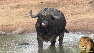 African Buffalo Wannabe An Elephant.
