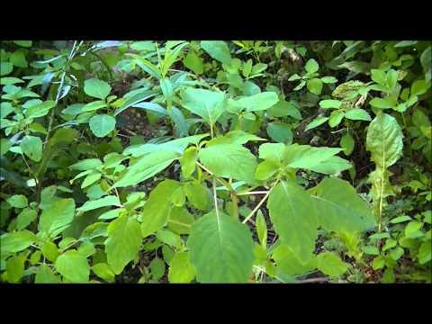 Jewelweed Plant