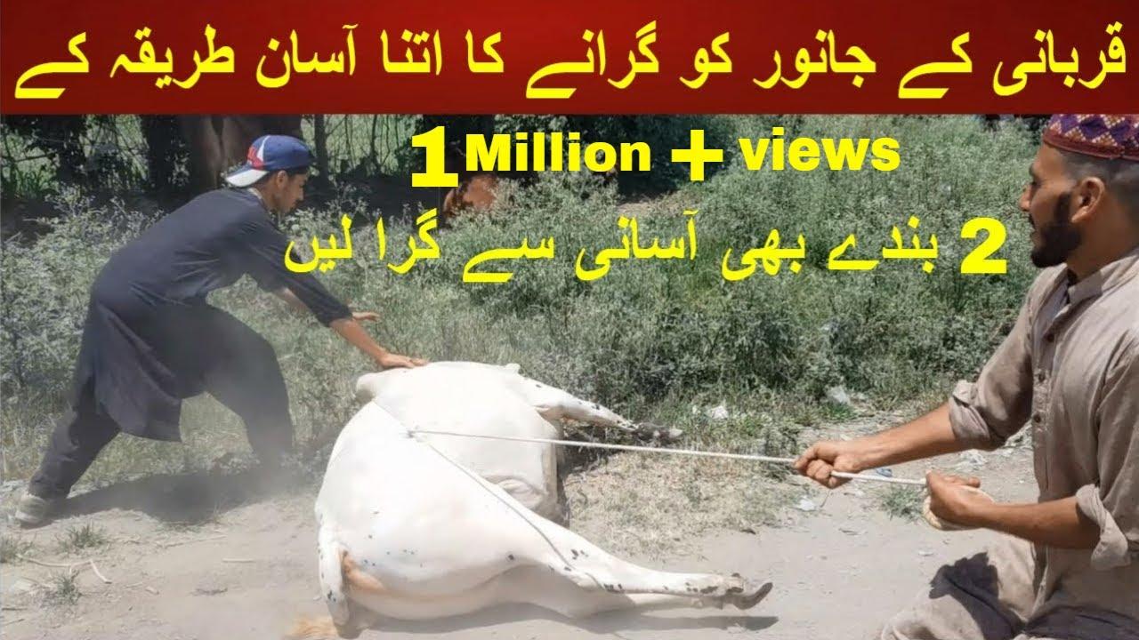Download Qurbani Kay Janwer Ko Giranay ka Aasaan Tarika By Malik Razmat    Cattle Farming By My Life Channel