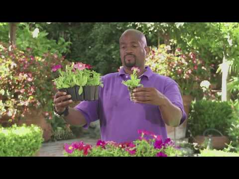 BRENT GREEN LANDSCAPING TIPS:  PETUNIAS