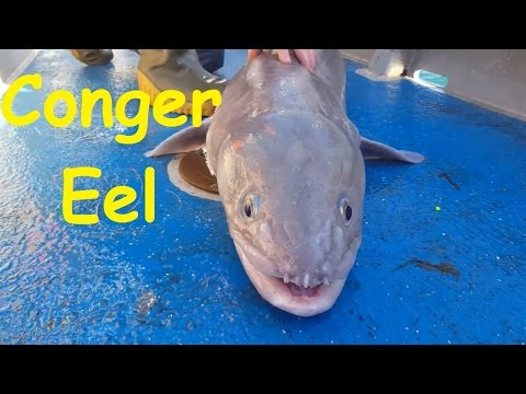 Conger Eel caught by my Cousin off the British Coast  - Approx 100lbs and 7ft long