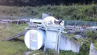 ホワイトスイスシェパード ニースくん JKC災害救助犬訓練施設での練習の...