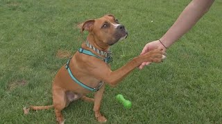 Maxs Mission Energetic lovable boxer mix Marshall is ready for his forever home