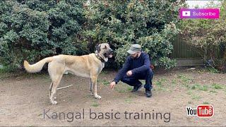 Kangal dog breed (basic training)