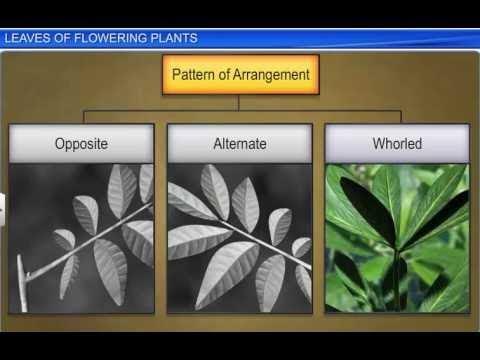 CBSE Class 11 Biology, Morphology of Flowering Plants – 3, Leaves of Flowering Plants