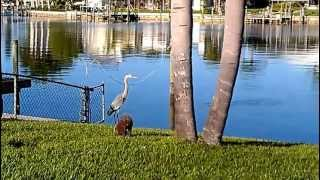 Funny dog video - Seymour vs. The Great Blue Heron