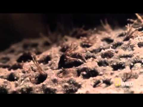 World's Weirdest   Baby Toads Born from Mom's Back Travel Video