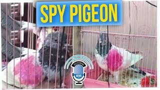 Man Demands the Return of His Pigeon, Detained in India for Spying