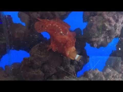 Angler Fish Eats Nemo