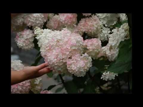 Цветёт гортензия метельчатая!!! Часть 2