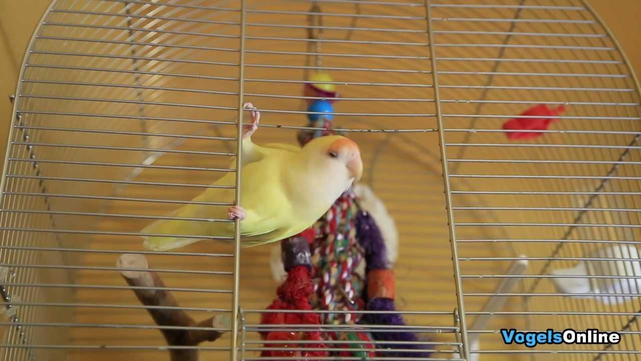 Verwonderlijk Lovebird escaped from his cage | Agapornis ontsnapt uit eigen kooi XY-05