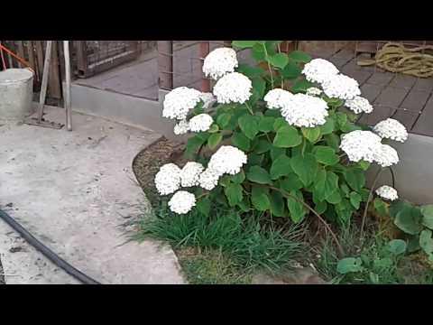 Гортензия древовидная Инкредибол в моем саду (видеообзор).