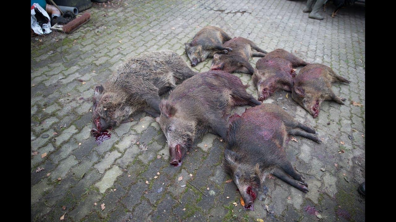 Wildschweinhorde