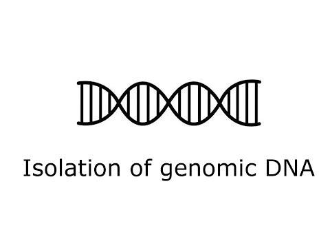 Isolation of yeast genomic DNA