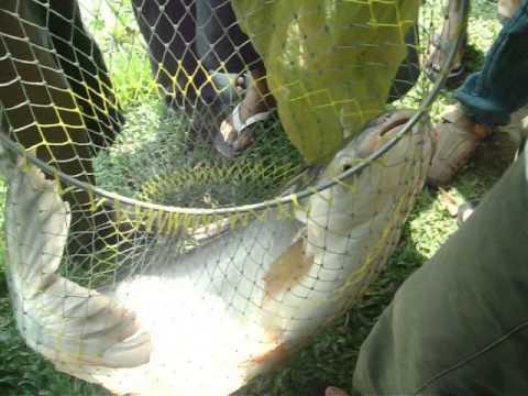 câu cá tra 11.90(kg) ở khu vui chơi giải trí tây hồ, thanh điền, tây ninh