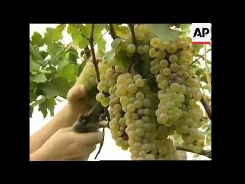 Russia's ban on Georgian wine leads to concerns of a wasted harvest