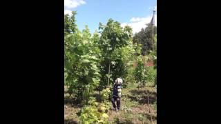 Клен Остролистный (2)(Добрый день! Мы занимаемся выращиванием и продажей растений для ландшафтного дизайна. В ассортименте собст..., 2014-07-02T17:10:35.000Z)