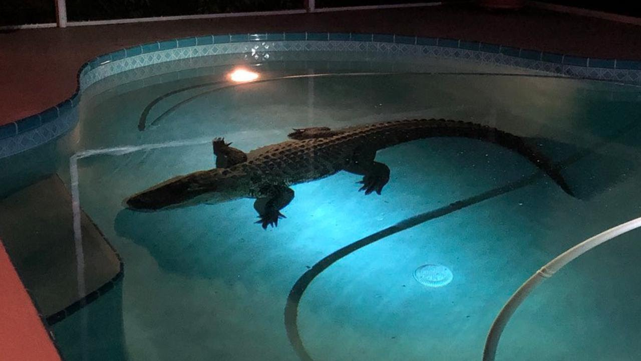 11 foot long alligator bursts through screen to swim in - Can babies swim in saltwater pools ...
