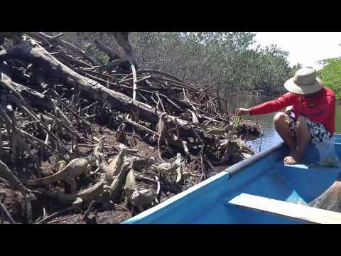 Feeding Time on Iguana Island at Laguna de Ventanilla, Oaxaca, Mexico.
