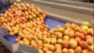 Lavado de Tomate por Ozonización y Eliminación de Hongos en la Superficie.