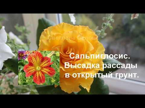 Однолетний цветок сальпиглоссис. Высаживаем рассаду в грунт.