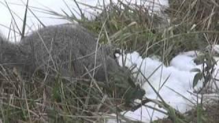 Endangered Delmarva Fox Squirrel -- Blackwater NWR, Cambridge, MD