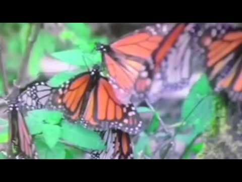 Monarch Buttterflies and milkweed cure Ca drought