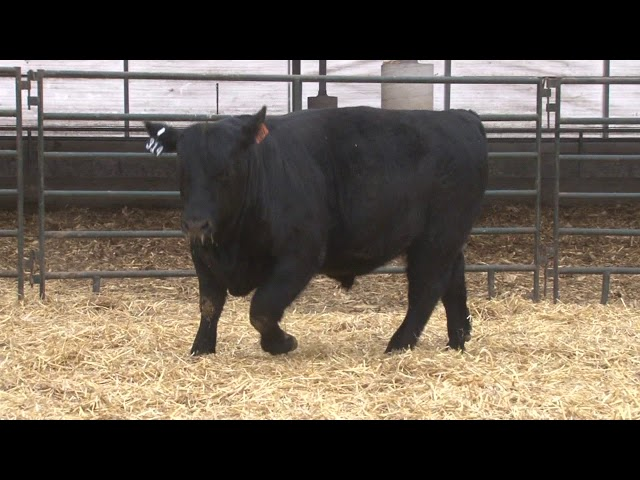 Schiefelbein Angus Farms Lot 314