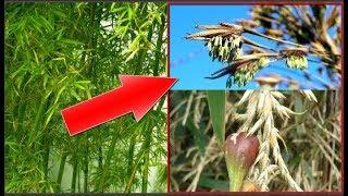 Khám phá bí ẩn hoa tre, loài hoa trăm năm mới nở một lần