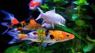 Koi Fish - Backyard Koi Fish Pond Gets Fish!!
