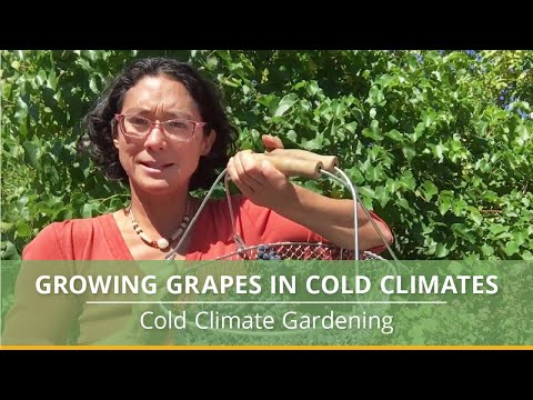 Growing grapes in cold climates