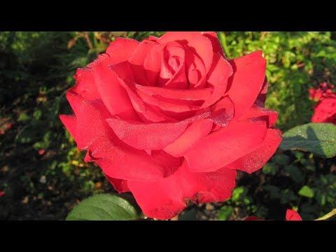 У розы семь листочков  Это шиповник Как отличить дички