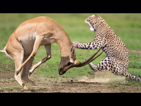 WORLD'S FASTEST ANIMALS FAIL! Mother Impala Take Down Cheetah, Leopard With Horns To Rescue Her Baby