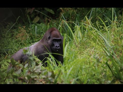 Western Lowland Gorilla in the Wild