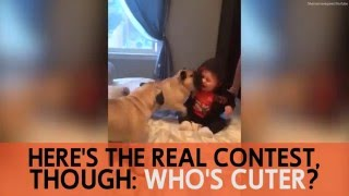 Baby can't stop laughing at pugs trying to play with her