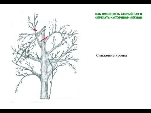 Снижение кроны дерева. Как омолодить и обрезать деревья. Часть 6. Груша, черешня. ©