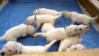 Komondor Puppies Litter A Dolmar Z Alkazaru