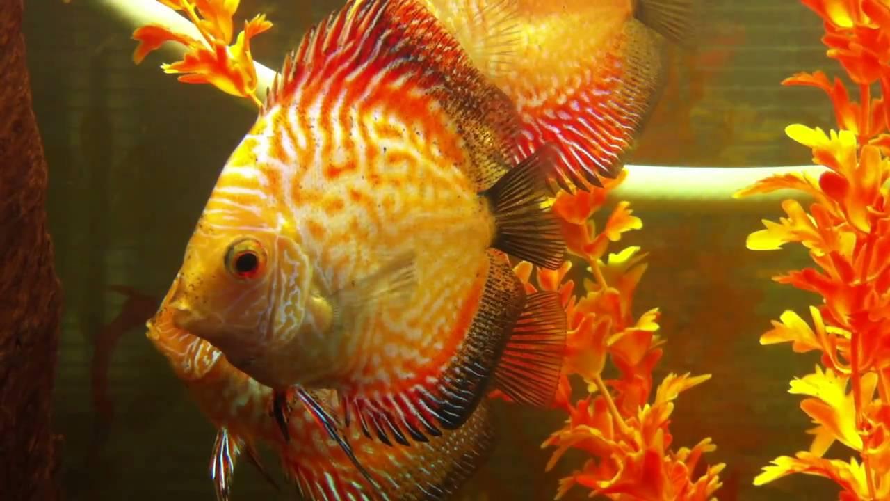 Discopet peces disco variedad sangre de pichon piel de for Variedad de peces
