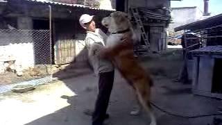 Самая сильная бойцовская порода собак! - The strongest fighting breeds of dogs!