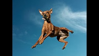 Big Jump By Funny Dog Mini Pinscher
