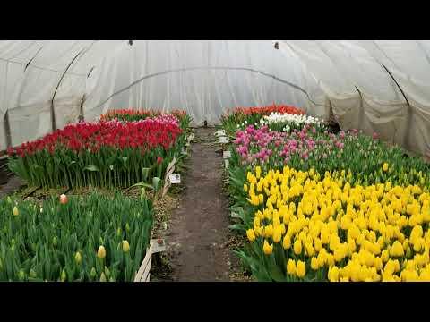 выгонка тюльпанов к 8 марта 28.02.20