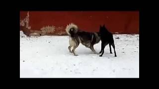 Собака бывает кусачей , только от жизни собачей... Николаевск-на-Амуре . декабрь 2016г.