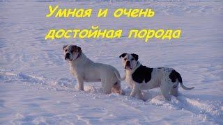 Американский бульдог - Умная и очень достойная порода ! The American bulldog is an Intelligent dog !