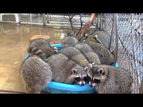 Last Pool Party Raccoons