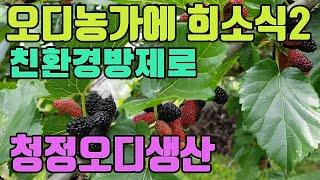 청정 오디생산(식초로 균핵병박멸)2-완전 친환경방제로 …
