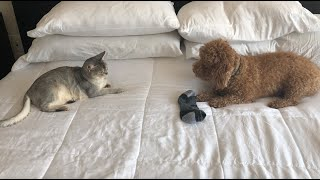Abyssinian cat and dog (who loves socks?)