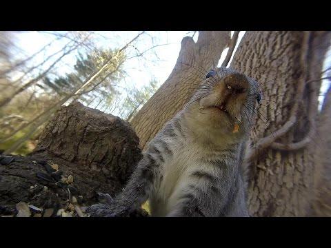Grey squirrel vocalizations